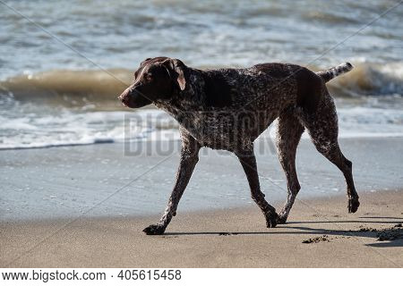 German Cop Is Short Haired Hunting Dog Breed. Brown Shorthaired Pointer With White Spots Running Alo
