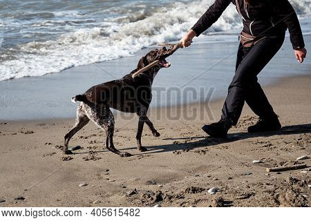 Human Plays With Dog In Stick On Beach. Charming Brown Shorthaired Pointer With White Spots On Chest