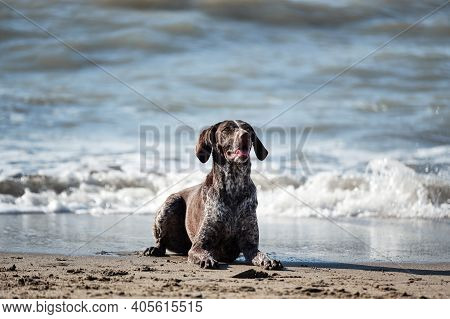 Brown Shorthaired Pointer With White Spots Lying On Sand On Shore Of Blue Sea And Posing. German Cop