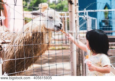 Preschool Asian Children Are Feeding Alpaca Food In The Zoo. The Animals Are Trapped In An Airy Cage