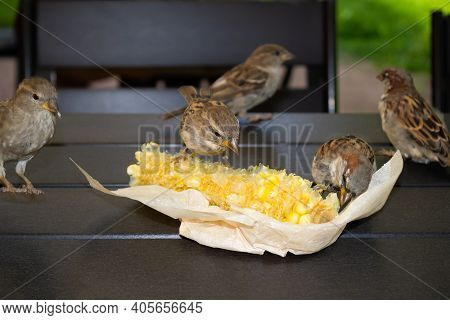 Five Gray Brown Sparrows Pecking Corn In Paper Packaging On The Wooden Table Outdoor, Close-up.