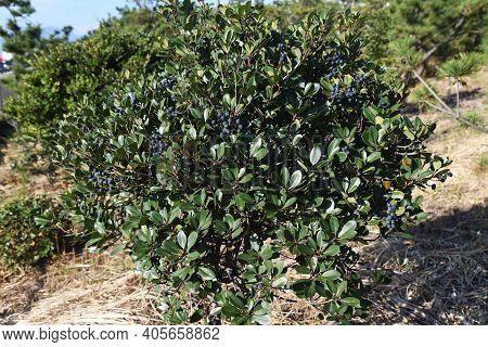 Rhaphiolepis Umbellata Berries. Rosaceae Ever Green Shrub.