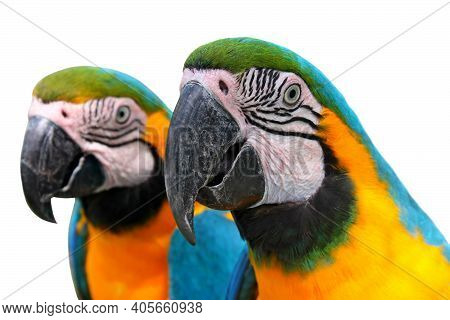 Blue Yellow Two Macaw Bird Head Closeup Talking Isolated On White Background. Macaw Parrot (ara) Ani