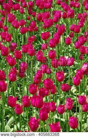 Beautiful Crimson Tulips Field In Spring Time