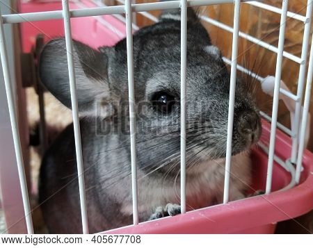 A Little Cute Chinchilla Sits Peacefully In A Cage. Gray Fur And Black Protruding Eyes In The Animal