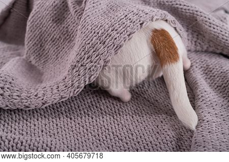 A Cute Little Dog Lies Covered With A Gray Plaid. The Hind Legs And Tail Of A Small Dog Stick Out Fr