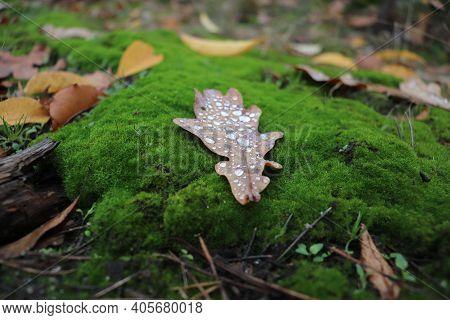 Oak Leaf With Dewdrops On Green Moss.