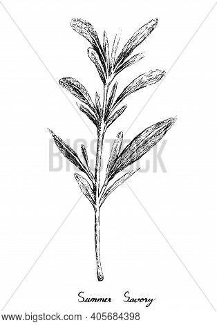 Herbal Plants, Hand Drawn Illustration Of Summer Savory Or Satureja Hortensis Plants Used For Season