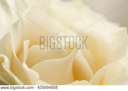 Beautiful White Chocolate Or Creme Rose Petals Close Up With Soft Focus.