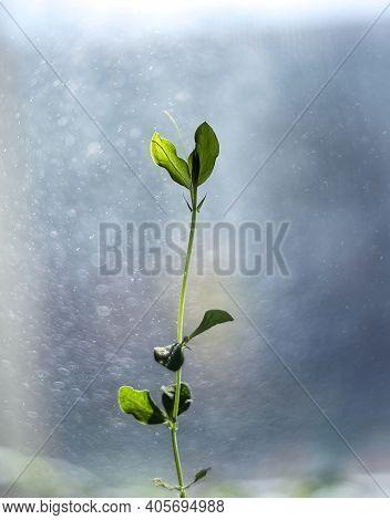 Young Gentle Spring Seedling On Blurred Blue Bokeh Defocused Background