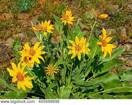 Golden Petals - A Clump Of Arnica Wildflowers In The Ochoco Mountains - Northeast Of Prineville, Or