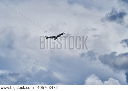 Andean Condor, Vultur Gryphus, Soaring Over The Colca Canyon In The Andes Of Peru Close To Arequipa.