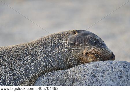 Galápagos Sea Lion, Zalophus Wollebaeki, Smallest Sea Lion Species. Sleepy Sea Lion Lying On The San