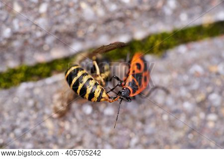 Vespula Germanica, European Wasp, German Wasp, Or German Yellowjacket Is Eaten By A Pyrrhocoris Apte