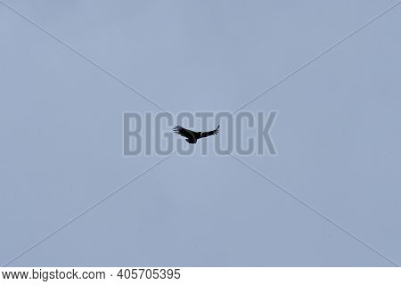 Vulture Gryphus Ist The Andean Condor And Belongs To The Family Of Family Cathartidae. The Andean Co