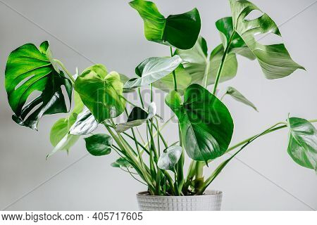 Beautiful Healthy Monstera In A Pot. Top Leaves Are Holed, Small Ones Are Intact
