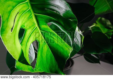 Potted Monstera In A Dark Room, Light Shining Through Top Big Leaf