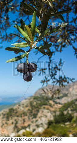 Organic ripe olives growing on olive tree on mediterranean coast, Close up black olive fruit on tree branch on blue sky background vertical photo, Eco farm products, healthy vegetarian food