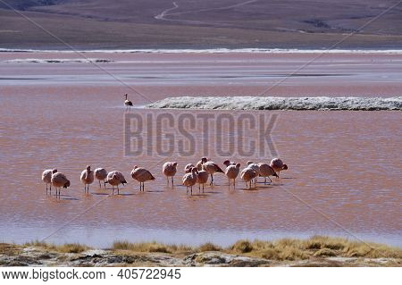 Andean Flamingo, Phoenicoparrus Andinus, In The Red Mineral Water Of Laguna Colorada In The Highland