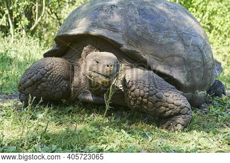 Galápagos Giant Tortoise, Chelonoidis , Walking On Santa Cruz Island, Ecuador, South America, Is The