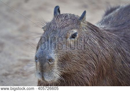 Capybara Portrait, Hydrochoerus Hydrochaeris, The Largest Living Rodent In The World, Is A Giant Cav