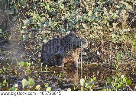 Capybara, Hydrochoerus Hydrochaeris, The Largest Living Rodent In The World, Is A Giant Cavy Rodent