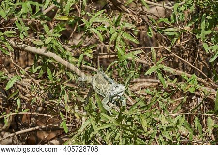 Very Colorful Green Iguana Lizard, Iguana Iguana, With A Long Tail Sunbathing In Bushes Along The Tr