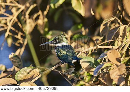 Green Kingfisher, Chloroceryle Americana, Perched In The Bushes Along The Transpantaneira To Porto J