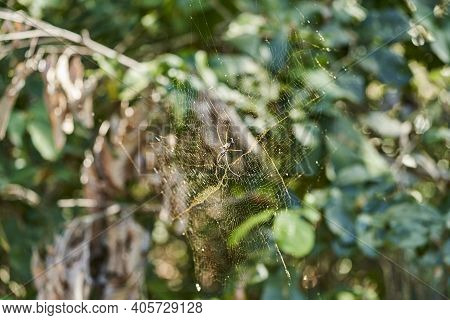 Trichonephila Clavipes, Or Nephila Clavipes, Commonly Golden Silk Orb Weaver, Golden Silk Spider, Or