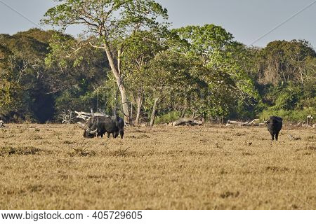 The Water Buffalo, Bubalus Bubalis, Also Domestic Or Asian Water Buffalo On The Meadow Of A Cattle F