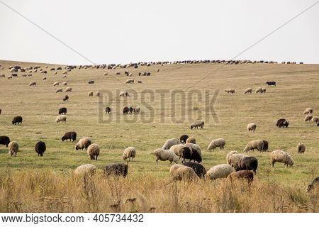 Farmer Sheep Graze In A Field Next To A Village Road. Sheep Graze In Meadow, In Field. Sheep With Bl