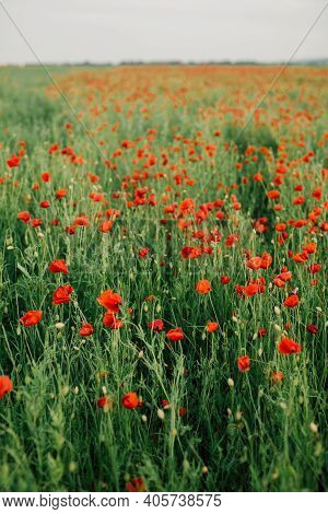 Large Field With Beautiful Red Poppies. Summer Landscape With Flowers. Red Flowers. Red Poppy Buds.