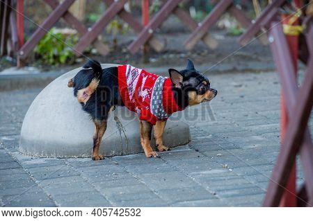 Chihuahua Dog Lifts Legs Pee. Chihuahua, Went For A Walk To Go To The Toilet. A Dog,