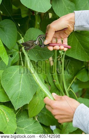 Person Picking Runner Beans With Secateurs From A Runner Bean Plant Growing In A Uk Garden