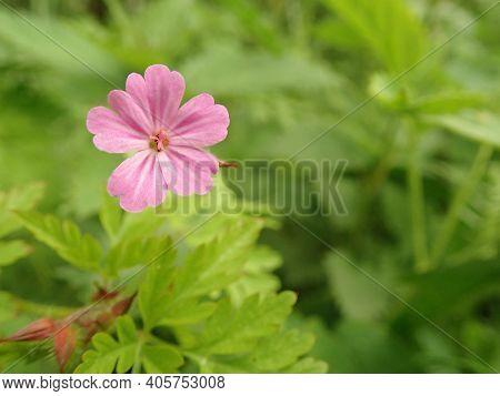 Herb-robert - Geranium Robertianum Pink Flower At The Meadow