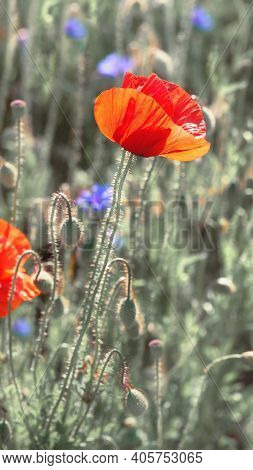 Close-up On Flaming Red Poppies And Bright Blue Cornflowers Outdoors On A Field In End Of May, End O