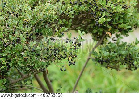 Japanese Holly (ilex Crenata) Berries / Aquifoliaceae Evergreen Shrub