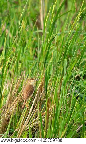 White-browed Wren-warbler Bird In A Paddy Field Among The Green Reed Plants
