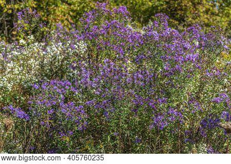 Purple Wild Flowers. New England Aster. Symphyotrichum Novae-angliae. Aster Novae-angliae.