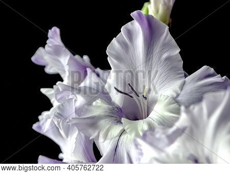 Delicate Light Purple Gladioli On A Dark Blurry Background, Narrow Focus Area
