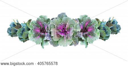 Ornamental Kales In A Floral Line Arrangement Isolated On White. Decorative Cabbage. Brassica Olerac