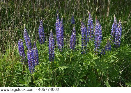Lupinus, Lupin, Lupine Field With Pink Purple And Blue Flowers.