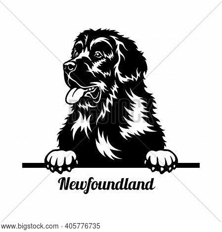 Newfoundland Peeking Dog - Head Isolated On White