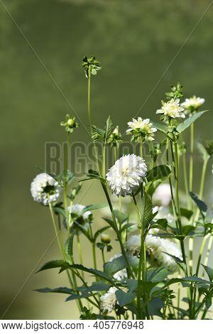 Dahlia White Aster Flowers - Latin Name - Dahlia White Aster