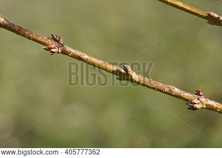 Weeping Forsythia Branch With Flower Buds - Latin Name - Forsythia Suspensa