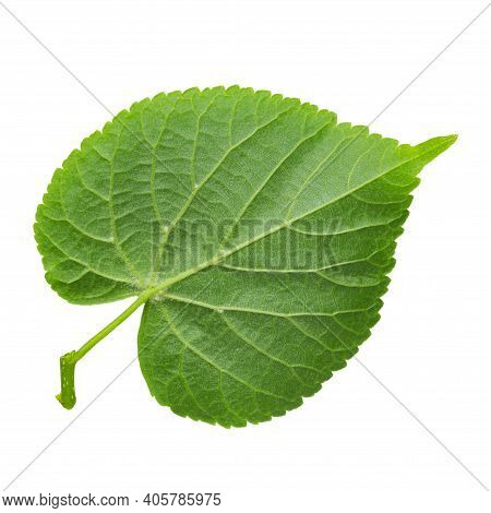 Branch Of Linden Tree Leaves Isolated On A White Background, Top View. File Contains Clipping Path.