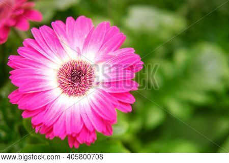 Pink Gerbera Flower, Copy Space For Text. Gerbera Flowers, Like Many Other Aster Flowers, Are Collec
