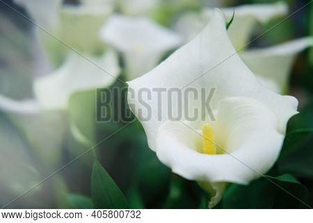 Beautiful Calla Lily Flower Is White, Copy Space. Calla Or Whitefly Is A Genus Of Plants In The Fami