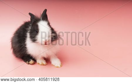 Easter Animal Concept. Lovely Little Black And White Bunny Standing Over Isolated Pink Background Wi