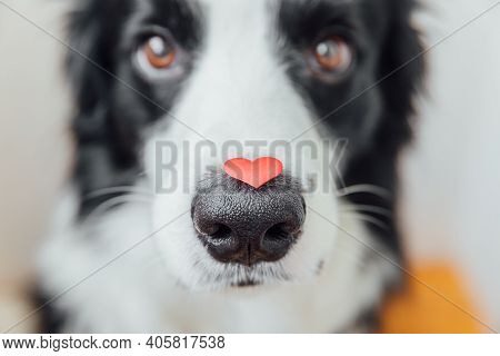 St. Valentines Day Concept. Funny Portrait Cute Puppy Dog Border Collie Holding Red Heart On Nose On